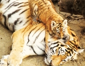 the tiger and its baby