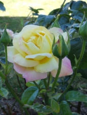 Roses - Yellow, Blush