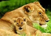 LionCubwithLioness